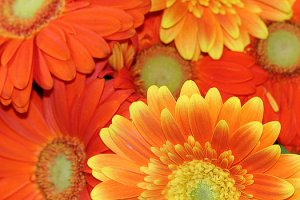 colorful-gerbera-daisies-angela-murdock