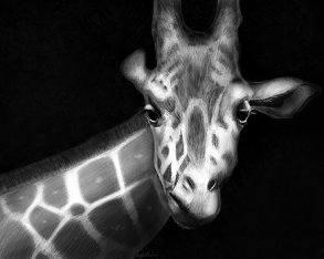 Giraffe in Black and White - Angela Murdock