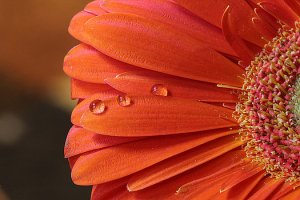 orange-gerbera-with-water-drops-angela-murdock
