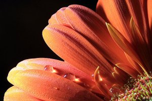orange-petals-and-black-background-angela-murdock