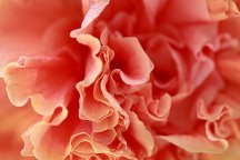 rose-petals-abstract-angela-murdock