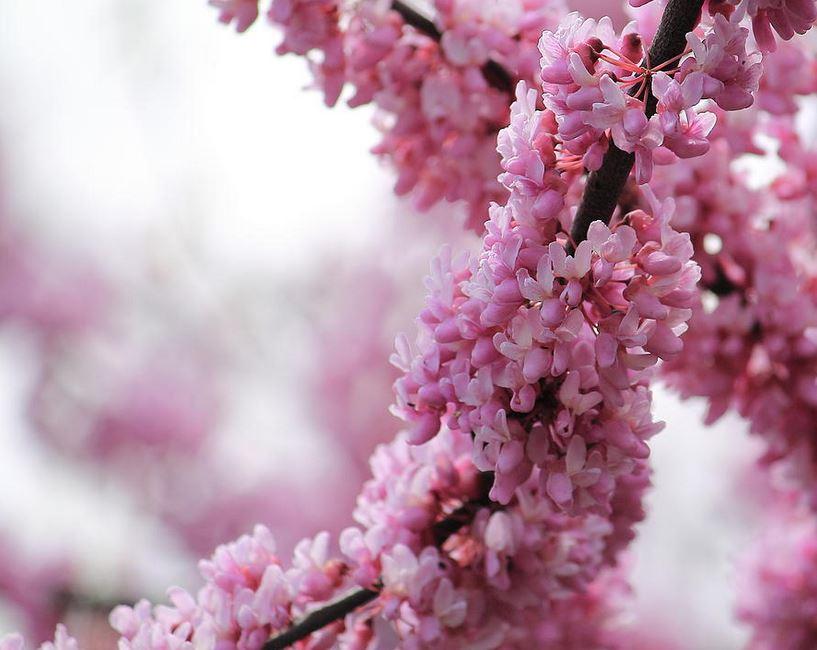 Cherry blossom - photography print by Angela Murdock