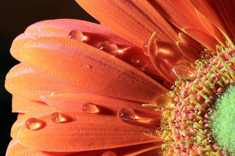 Fine Art Print - Water Drops On Colorful Flower Petals