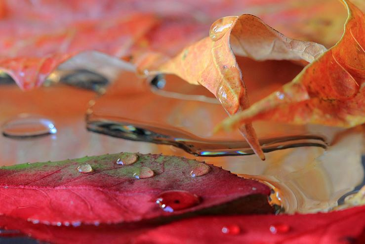 Fine Art Print - Water Drops On Autumn Leaves