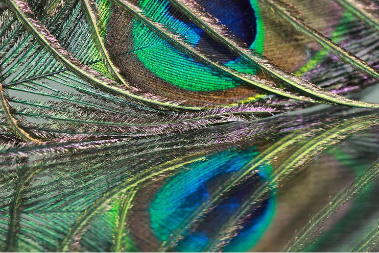 Peacock Photograph Print by Angela Murdock