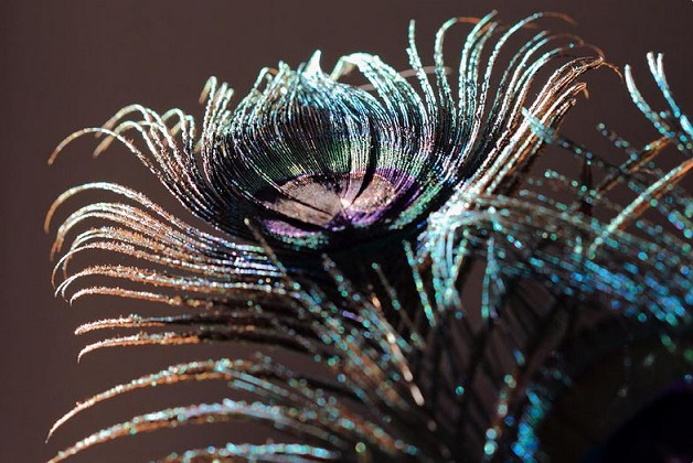 Purple Peacock Feather Print by Angela Murdock