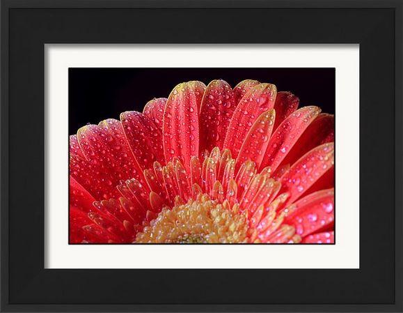 many water drops on daisy framed.JPG