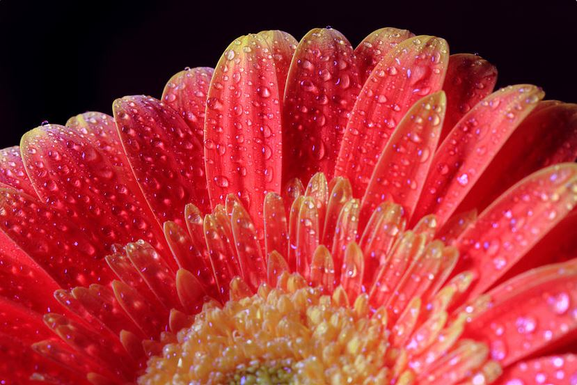 many water drops on daisy photography by Angela Murdock