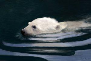 young polar bear swimming digital painting by angela murdock