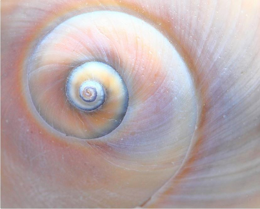 swirls seashell photograph by Angela Murdock