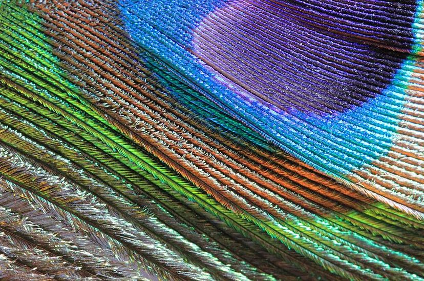abstract peacock feather photography prints by Angela Murdock