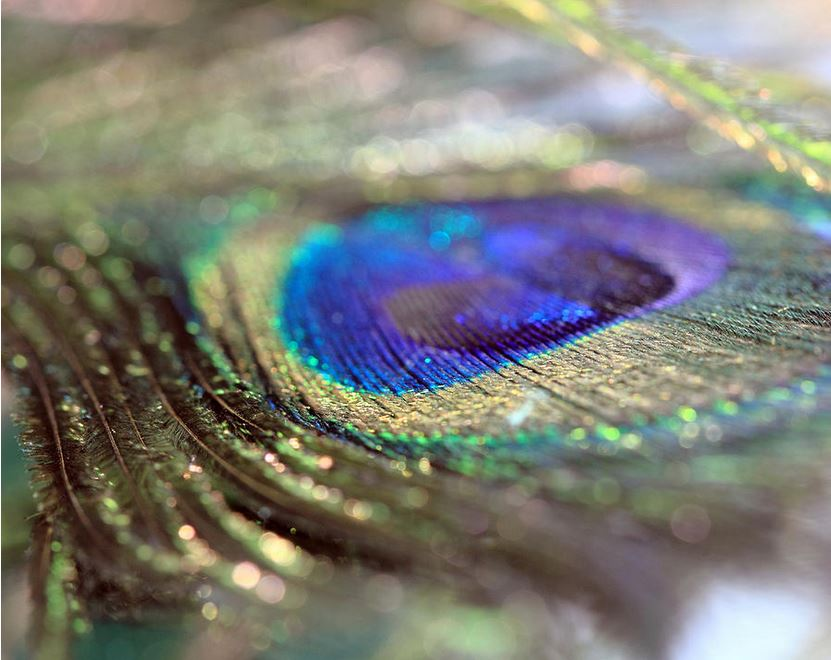 sparkling-peacock-feather photography by Angela Murdock
