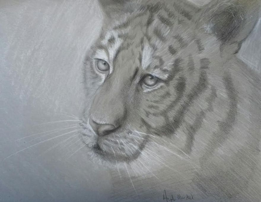 tiger-sketch drawings by angela murdock