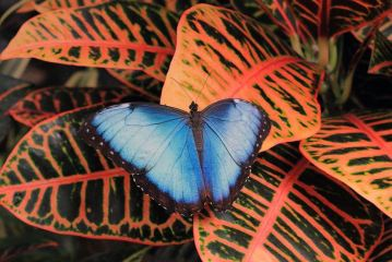blue-morpho-on-orange-leaves photography by Angela Murdock