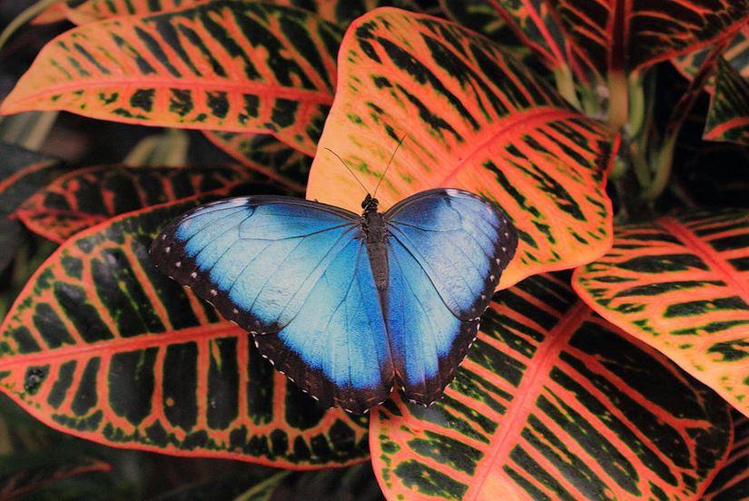 blue-morpho-on-orange-leaves photography by Angela Murdock