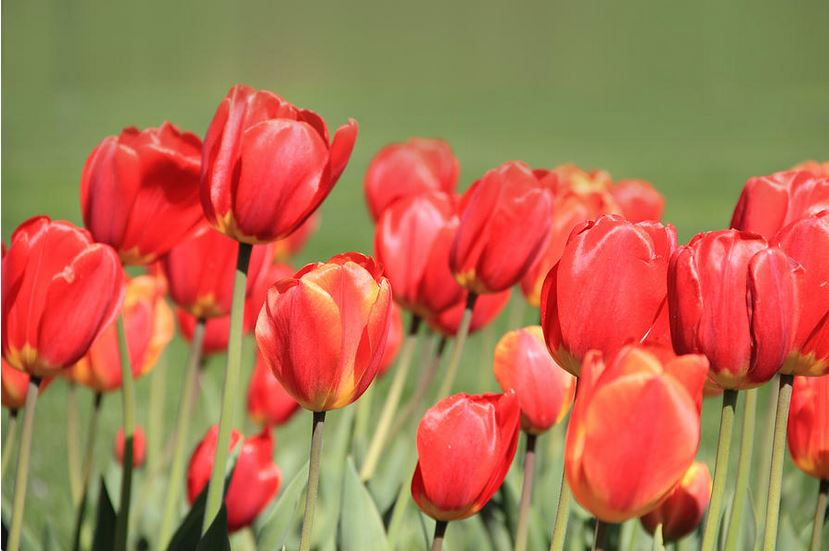 red-tulips photography prints by angela murdock