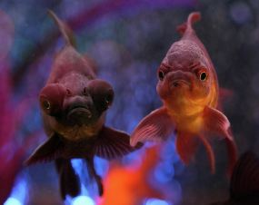 angry-goldfish photography print by Angela Murdock