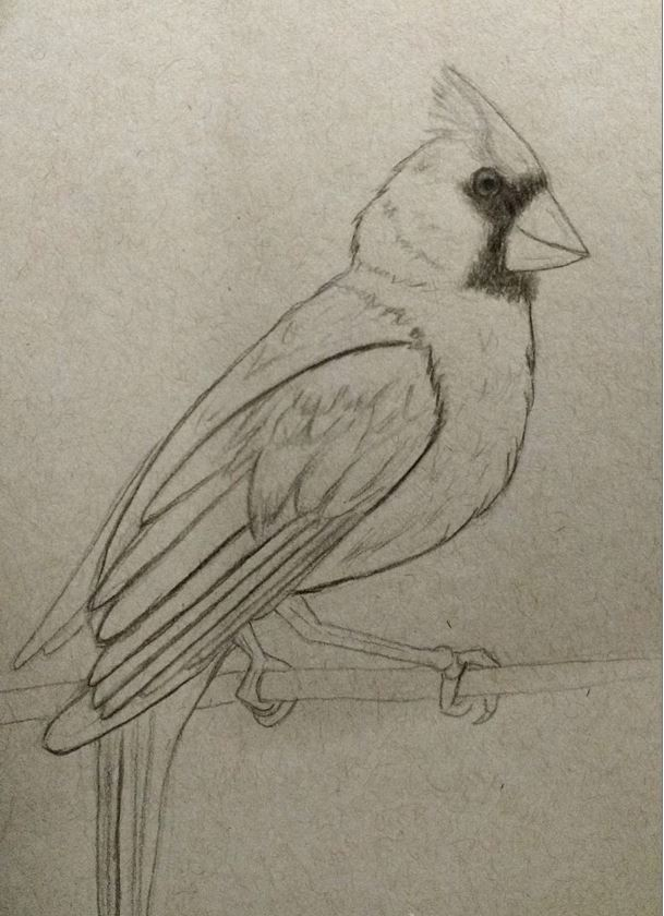 cardinal-sketch drawings by Angela Murdock