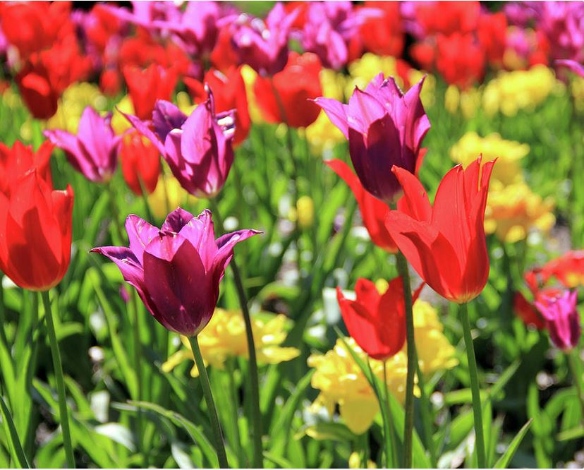 red and purple tulips Photography by Angela Murdock