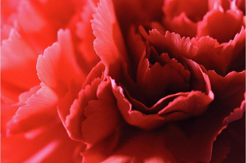 red carnation petals photography prints by Angela Murdock