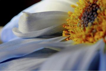 delicate daisy petals photography prints by Angela Murdock