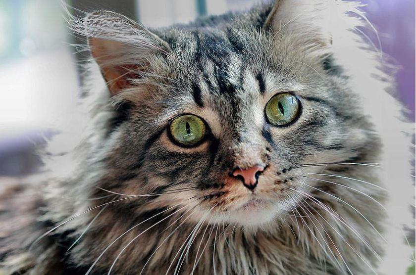 maine coon portrait by Angela Murdock