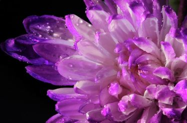 Photography by Angela Murdock; Purple Flower and Water Drops