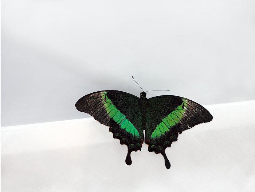 Green banded swallowtail: Photography Prints by Angela Murdock