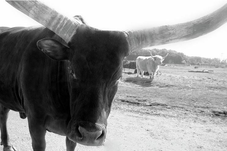 Longhorn: Photography Prints by Angela Murdock