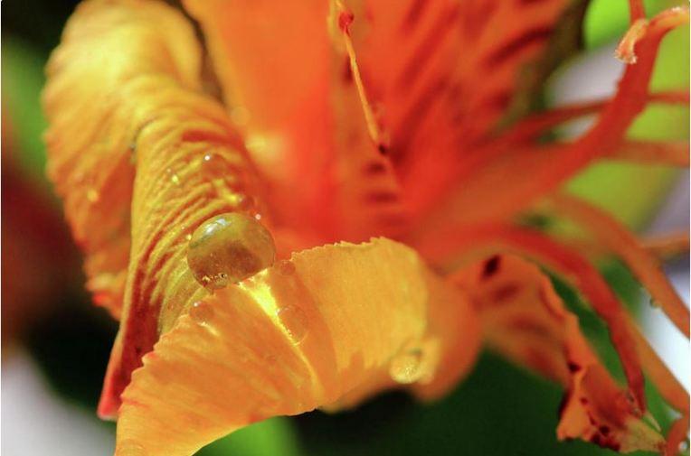 Tiger Lily Petals