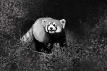 Red Panda: Art by Angela Murdock