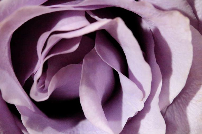 purple rose abstract 2