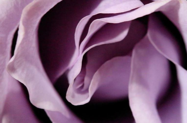 purple rose abstract 3
