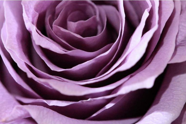 purple rose abstract