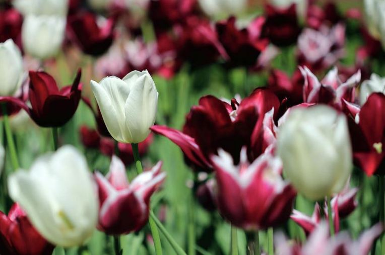 white and maroon tulips