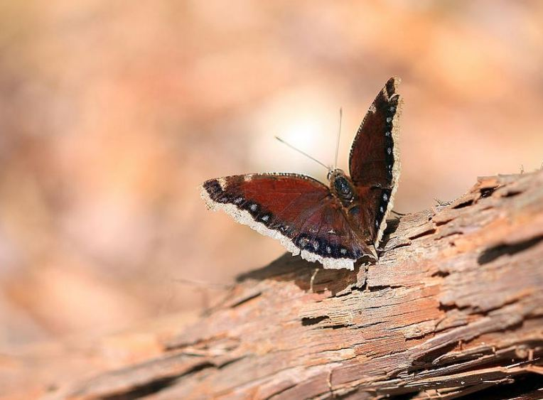 Mourning Cloak Butterfly: photography prints by Angela Murdock